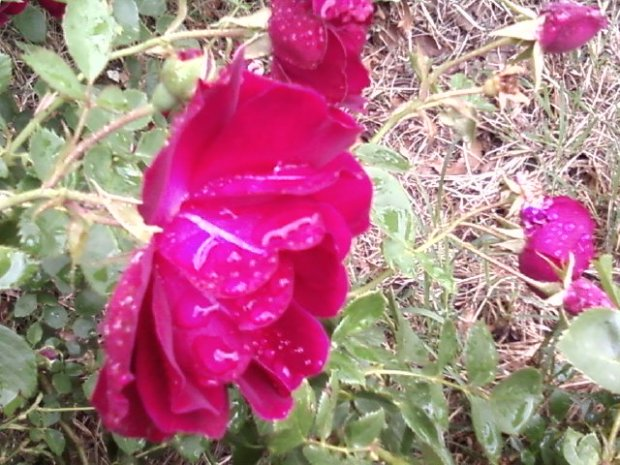 raindrops side view rose