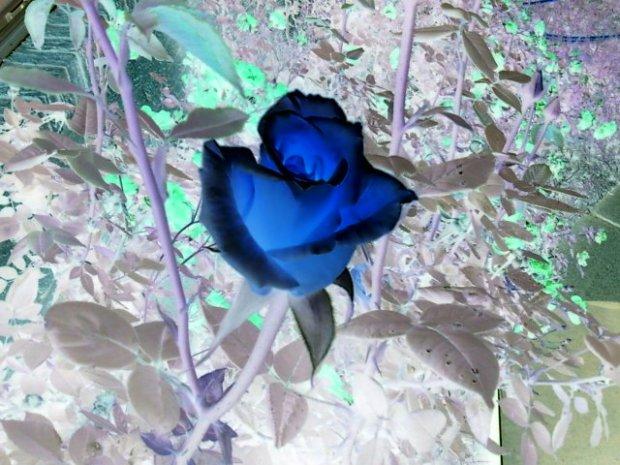 Rose inverse